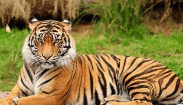 为什么老虎吃人后必须杀掉?不杀的后果有多么很严重_图1-2