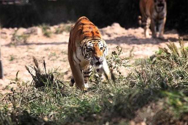 为什么老虎吃人后必须杀掉?不杀的后果有多么很严重_图1-3