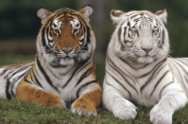 为什么老虎吃人后必须杀掉?不杀的后果有多么很严重_图1-4