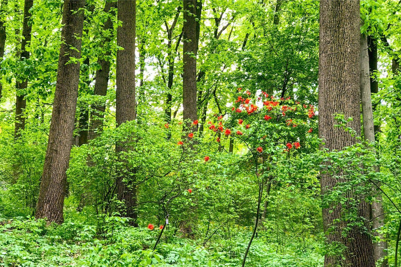 杜鹃花,路边的一幅画_图1-25