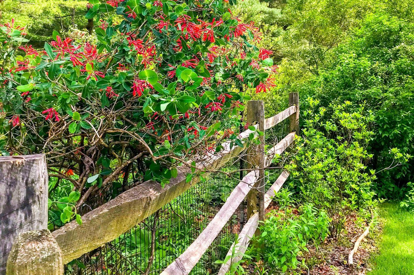 杜鹃花,路边的一幅画_图1-16