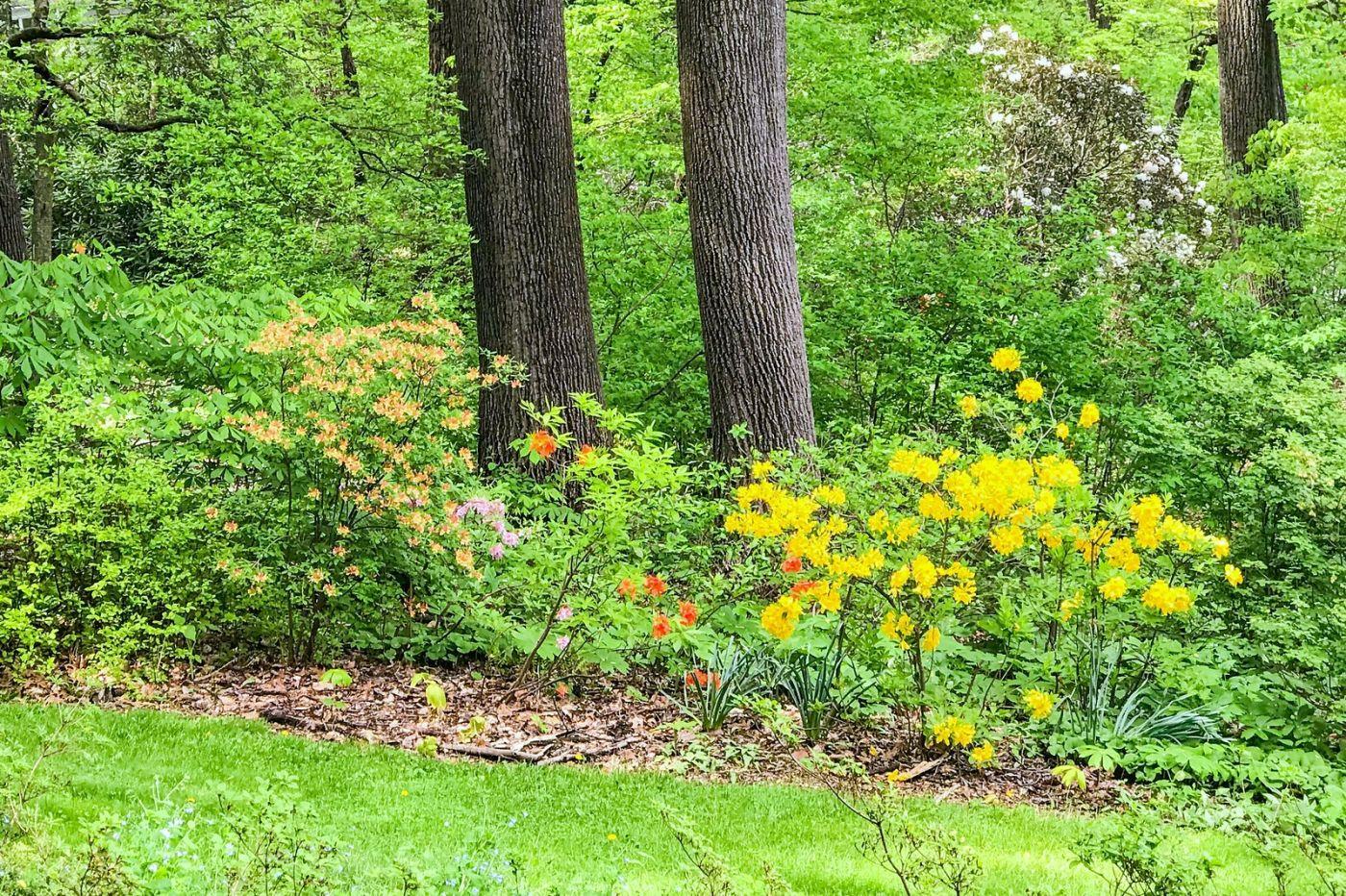 杜鹃花,路边的一幅画_图1-12