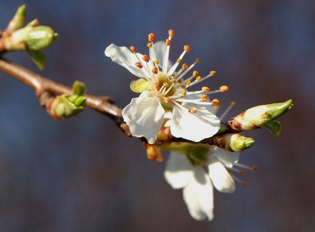 春花展枝头_图1-1
