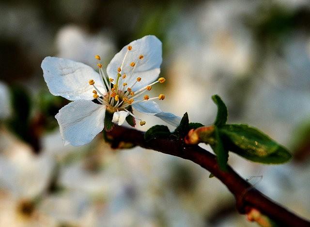 春花展枝头_图1-2