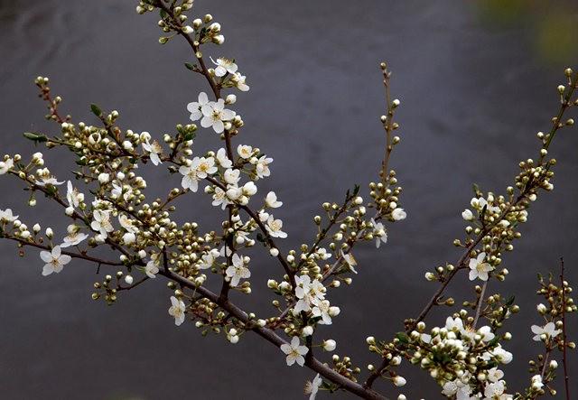 春花展枝头_图1-7