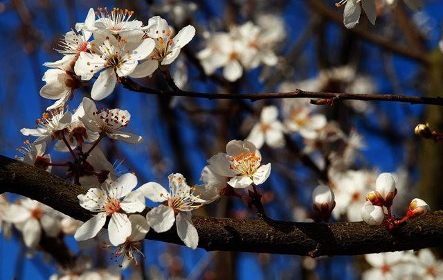 春花展枝头_图1-18