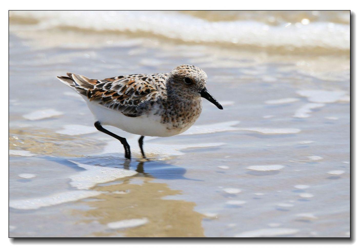 洛克威海滩拍鸟—滨鹬_图1-1