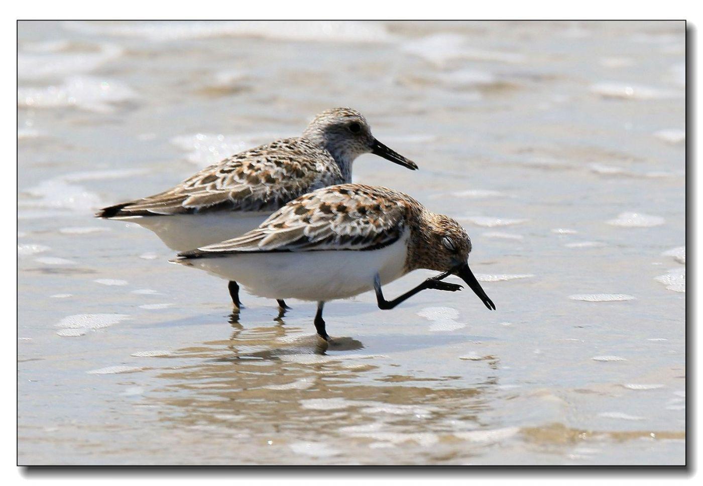 洛克威海滩拍鸟—滨鹬_图1-2