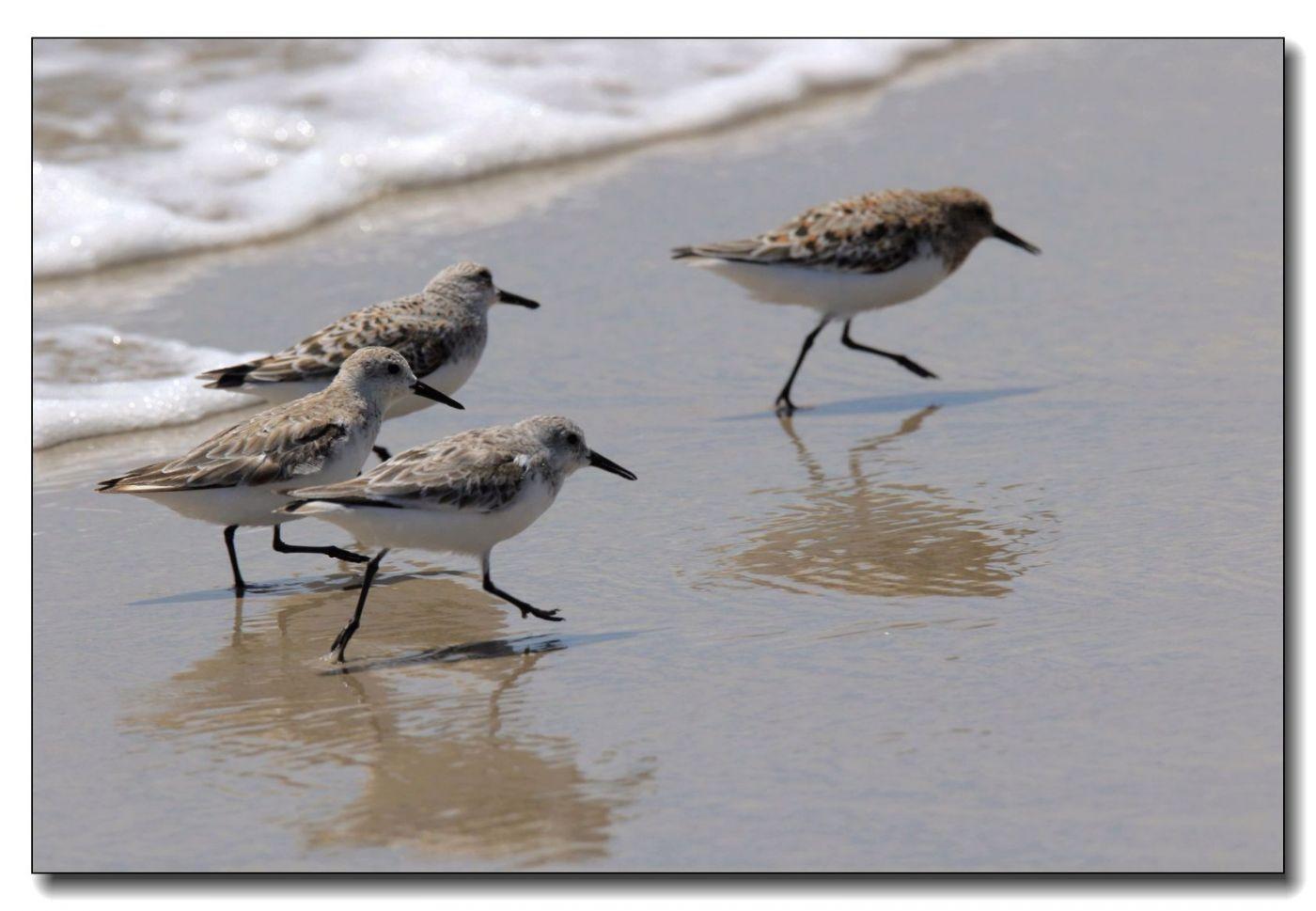 洛克威海滩拍鸟—滨鹬_图1-3