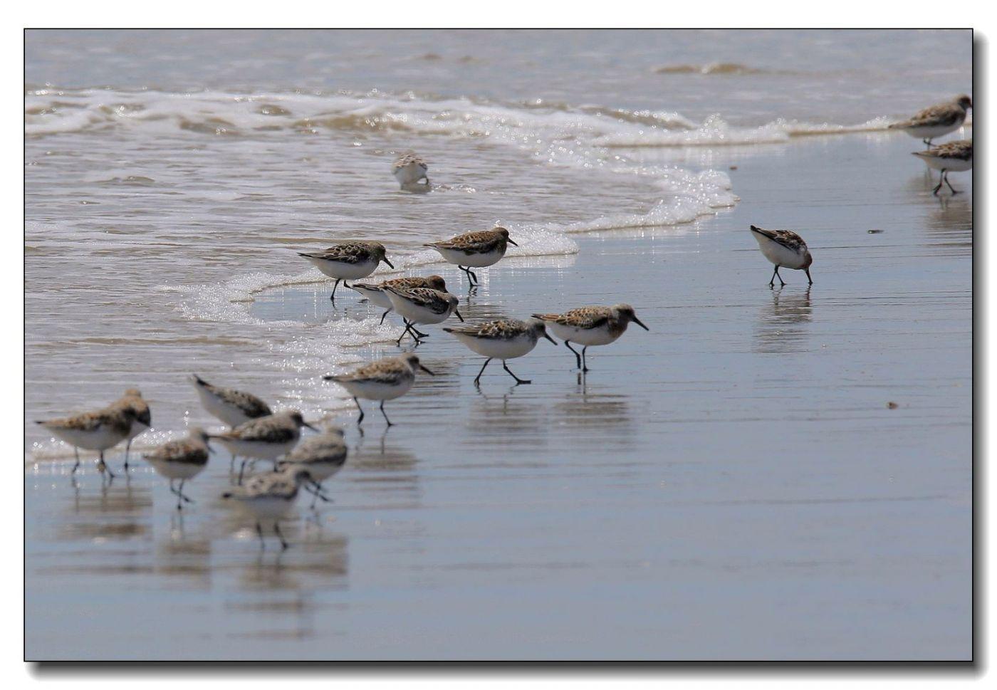 洛克威海滩拍鸟—滨鹬_图1-4