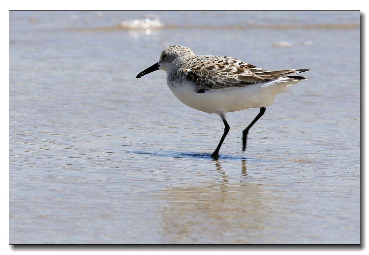 洛克威海滩拍鸟—滨鹬_图1-5