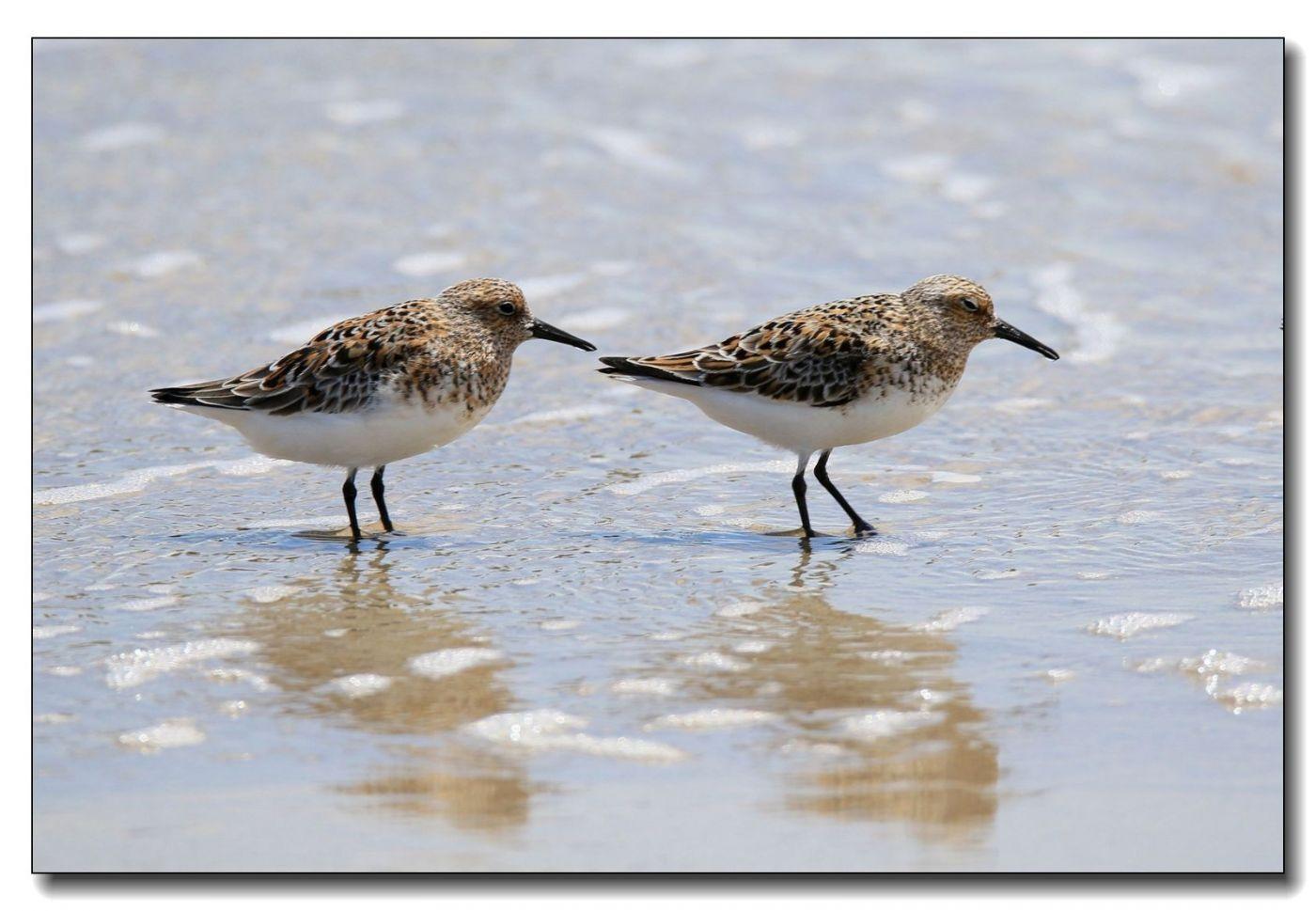 洛克威海滩拍鸟—滨鹬_图1-6