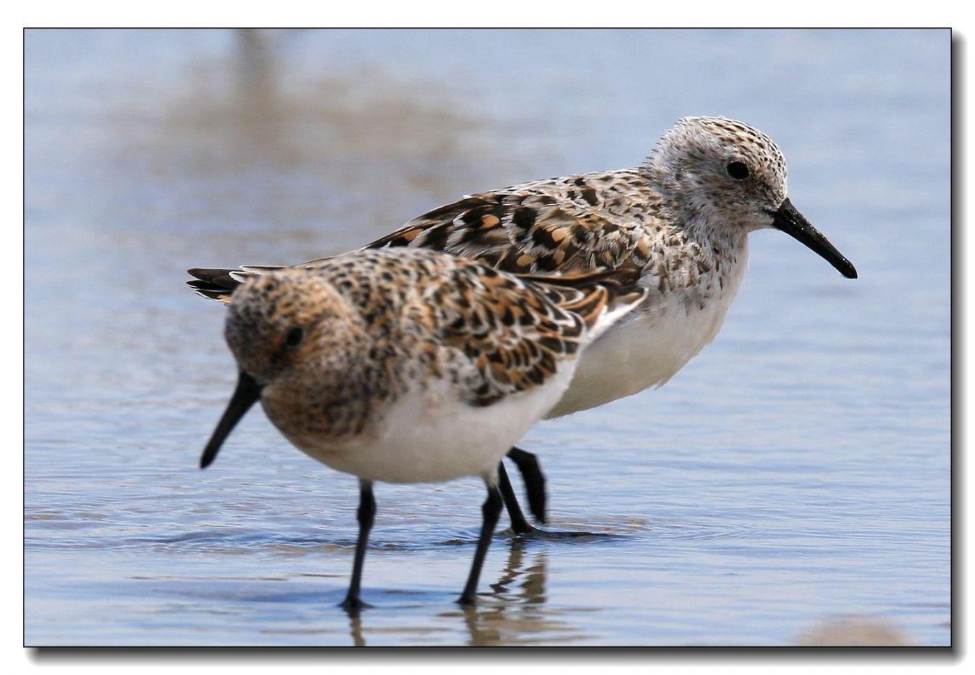 洛克威海滩拍鸟—滨鹬_图1-7