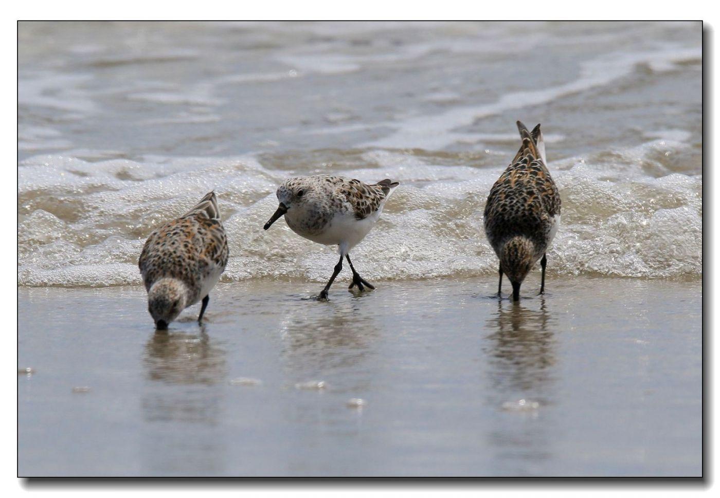 洛克威海滩拍鸟—滨鹬_图1-8