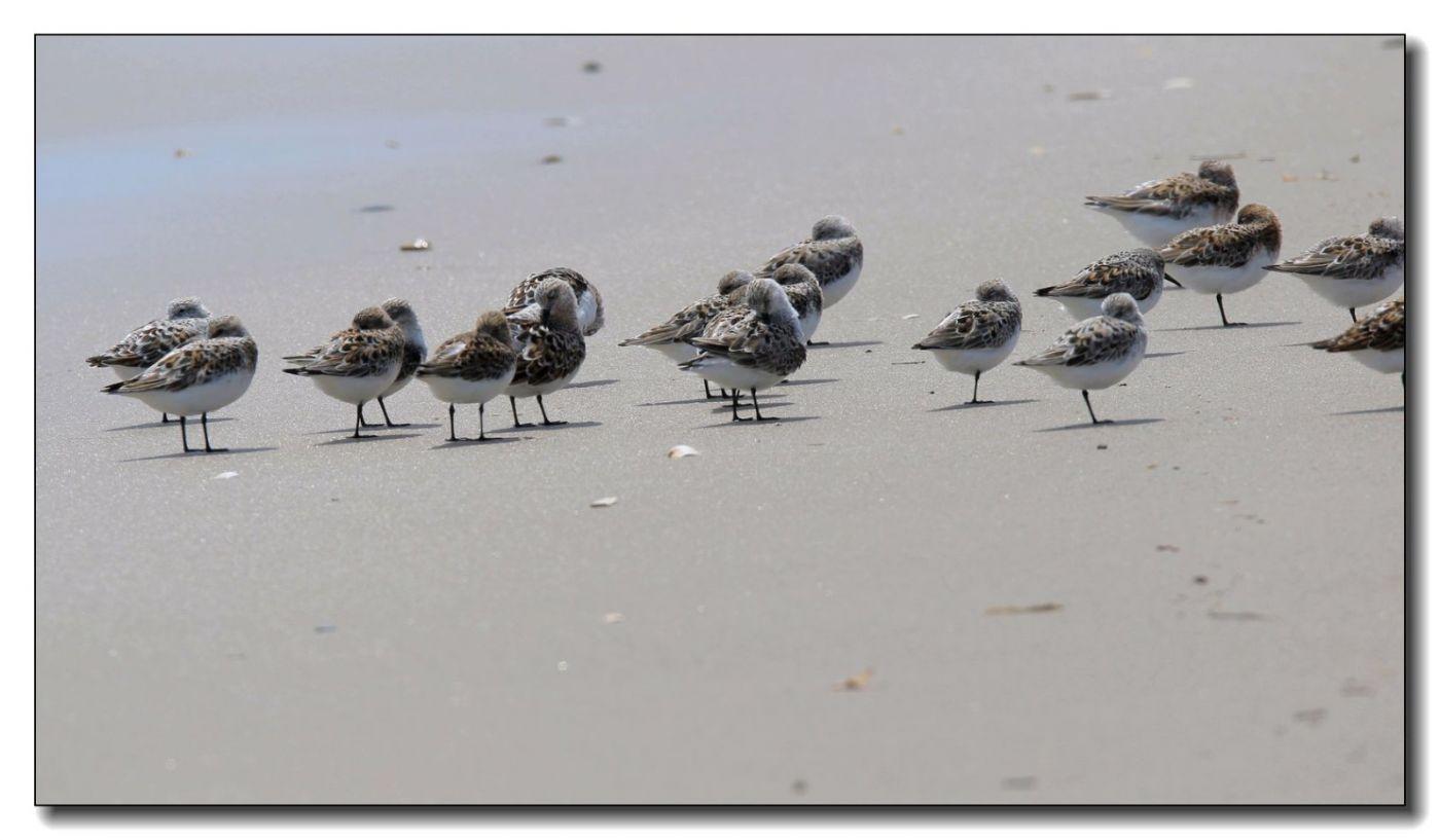 洛克威海滩拍鸟—滨鹬_图1-9
