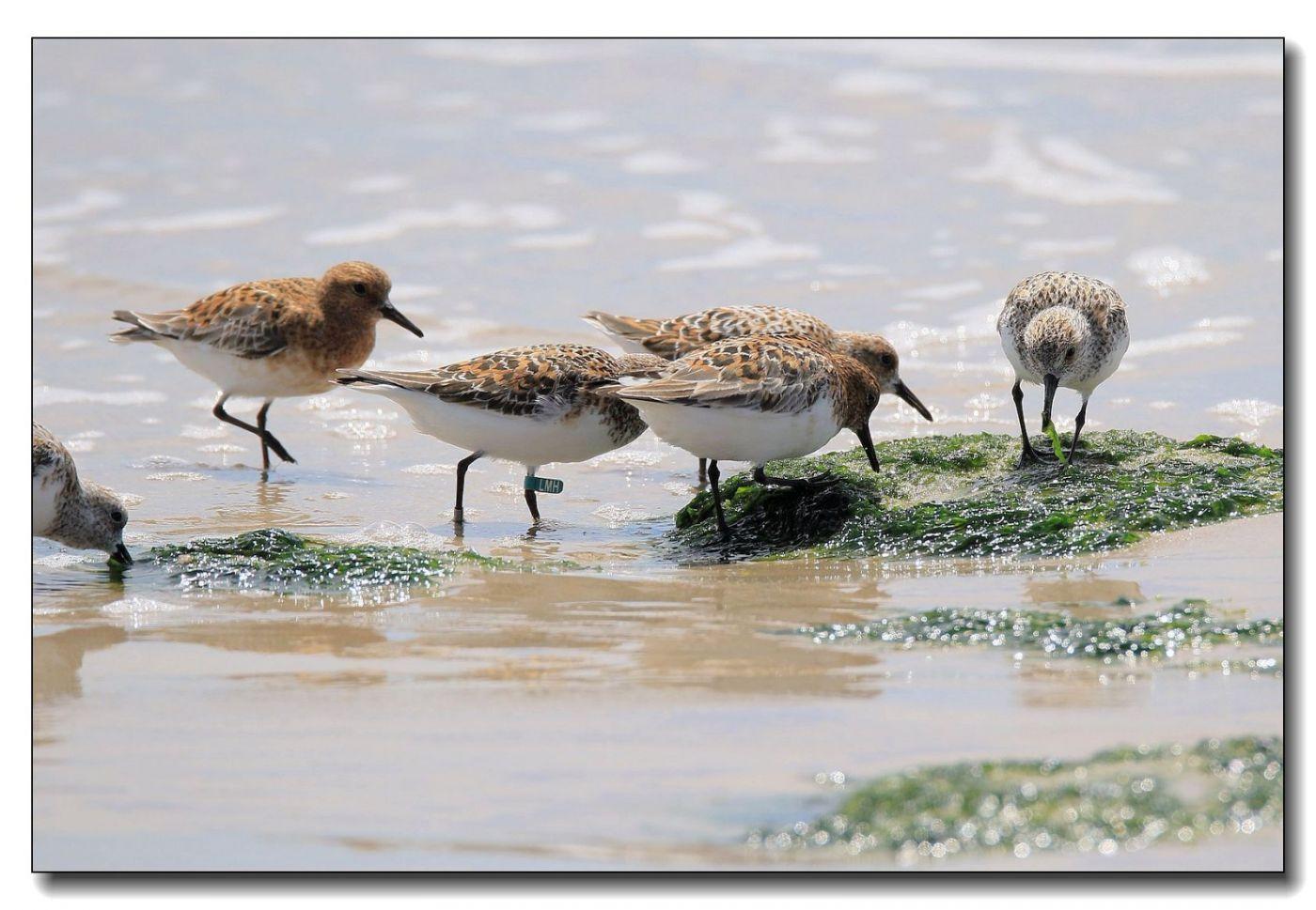 洛克威海滩拍鸟—滨鹬_图1-10