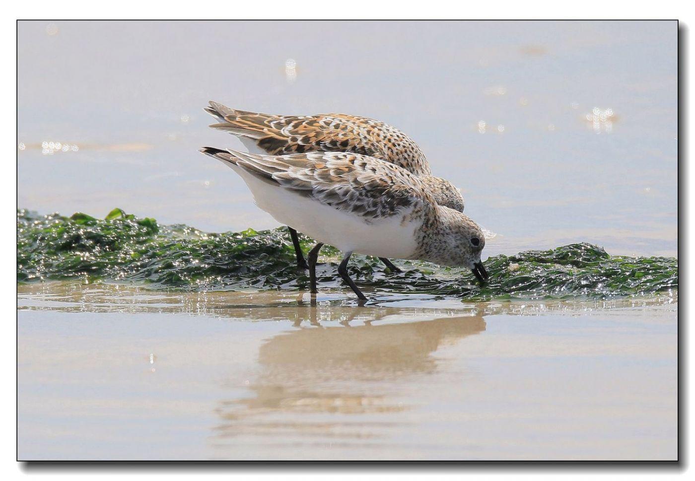 洛克威海滩拍鸟—滨鹬_图1-11