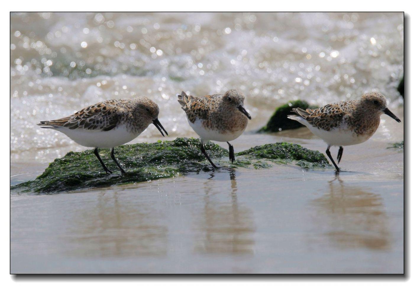 洛克威海滩拍鸟—滨鹬_图1-12
