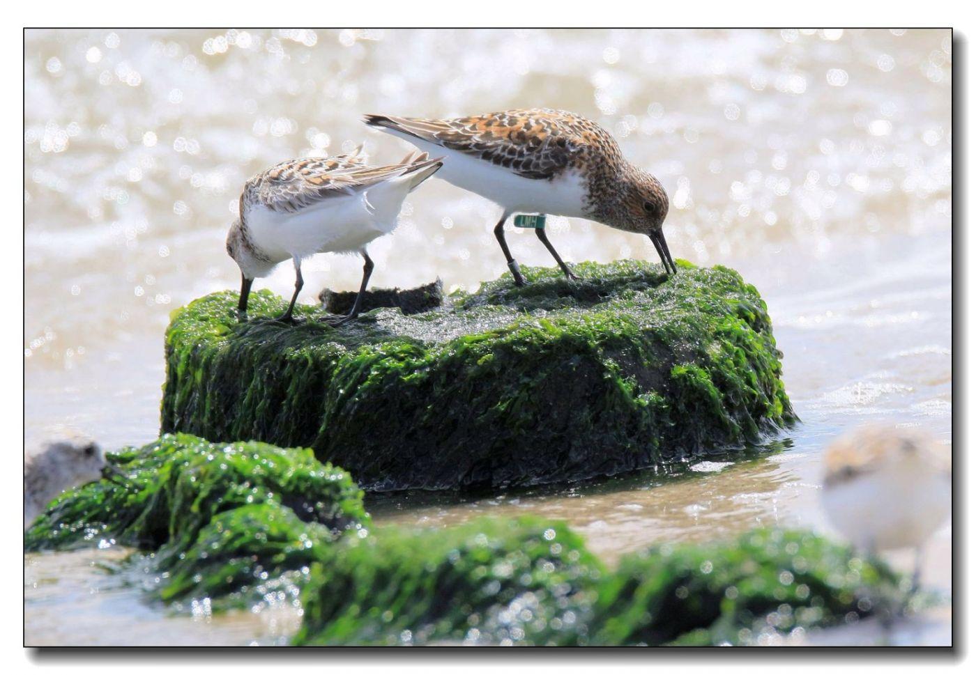 洛克威海滩拍鸟—滨鹬_图1-13