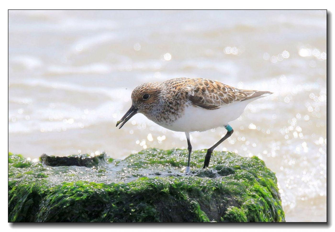洛克威海滩拍鸟—滨鹬_图1-14