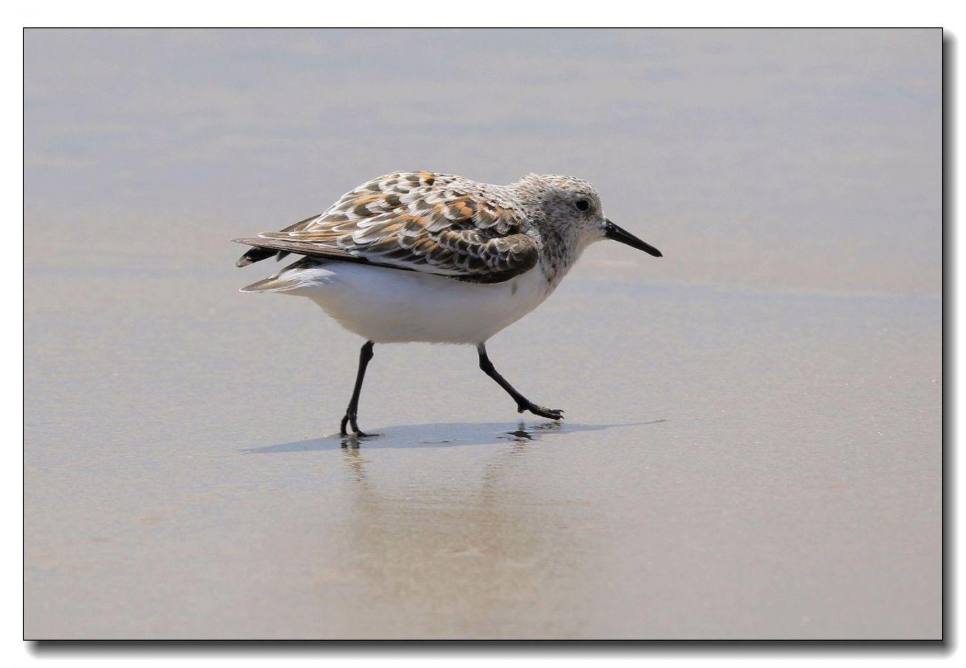 洛克威海滩拍鸟—滨鹬_图1-15