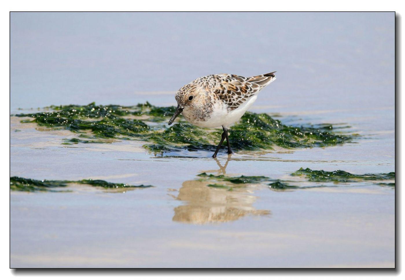 洛克威海滩拍鸟—滨鹬_图1-16