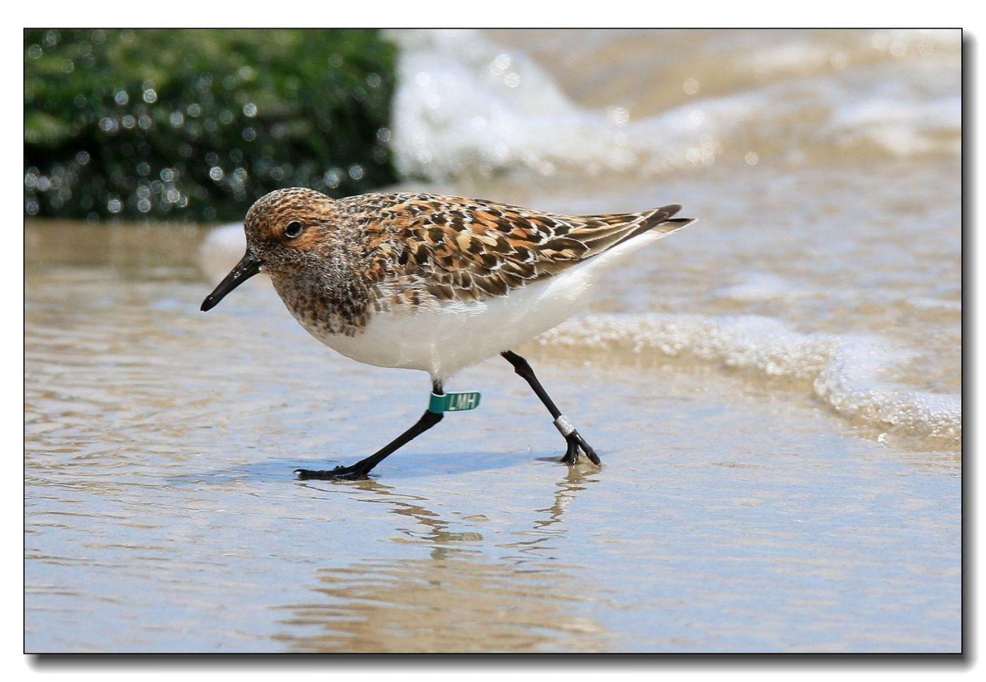 洛克威海滩拍鸟—滨鹬_图1-17