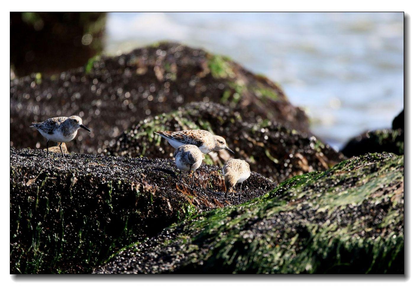 洛克威海滩拍鸟—滨鹬_图1-18