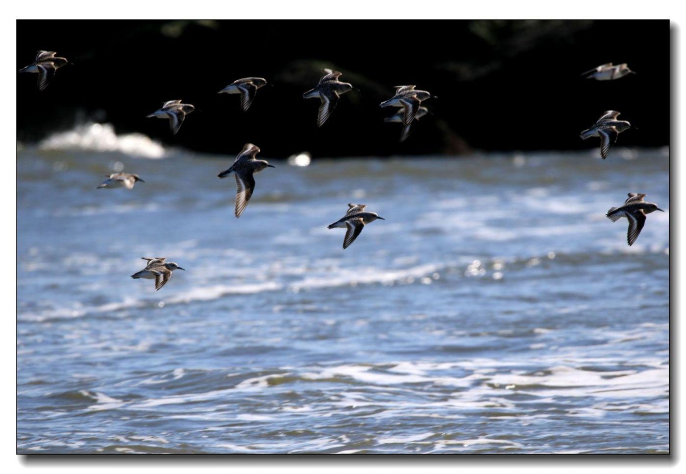 洛克威海滩拍鸟—滨鹬_图1-19