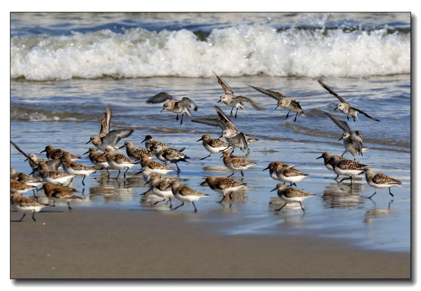 洛克威海滩拍鸟—滨鹬_图1-20