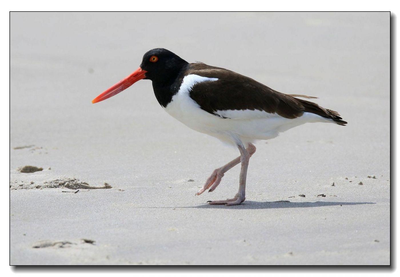 洛克威海滩拍鸟—励鹬_图1-1