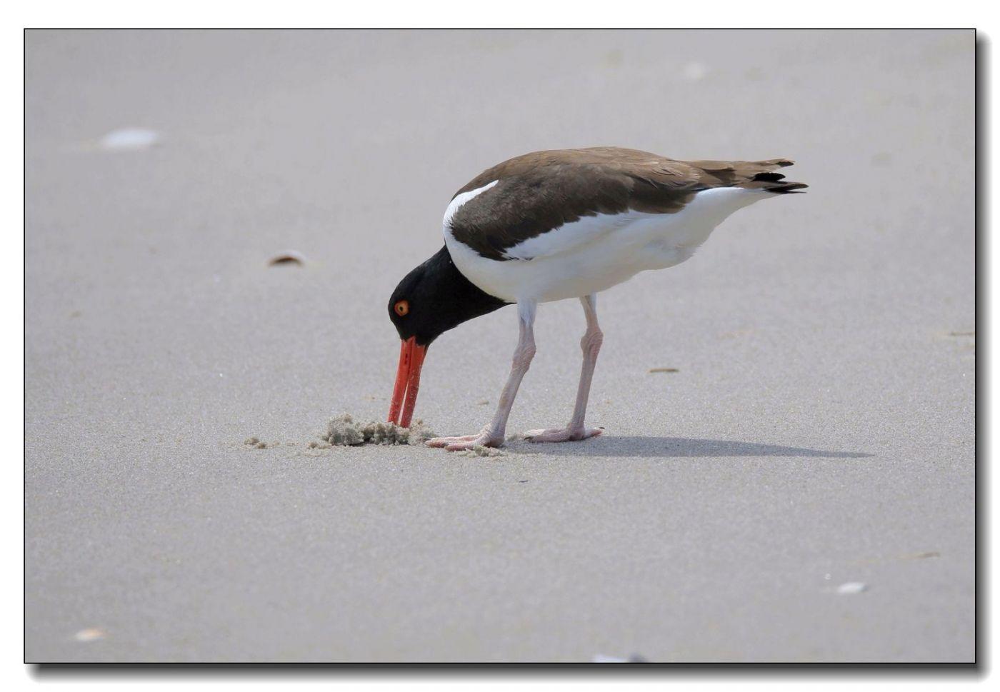 洛克威海滩拍鸟—励鹬_图1-2