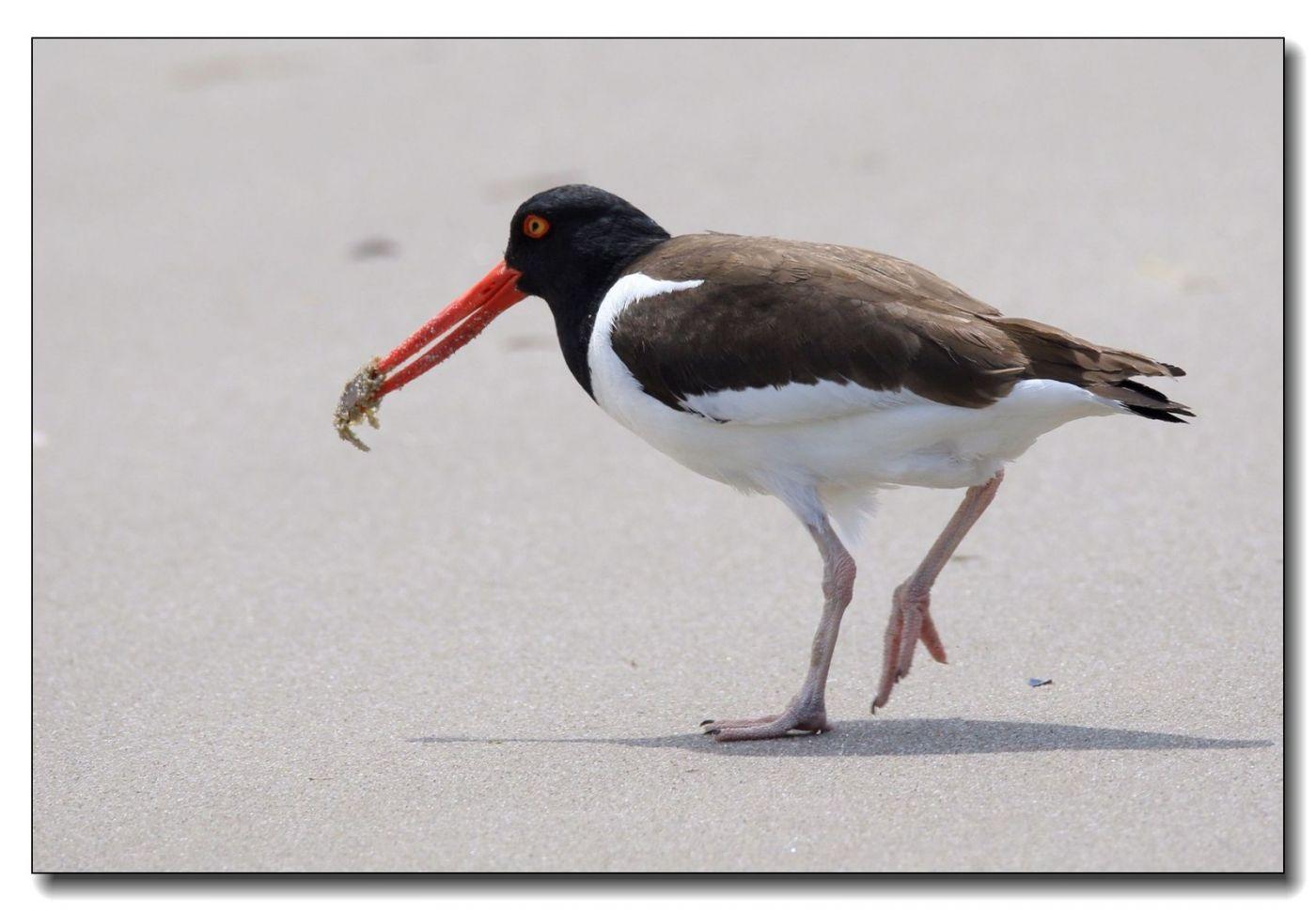 洛克威海滩拍鸟—励鹬_图1-3