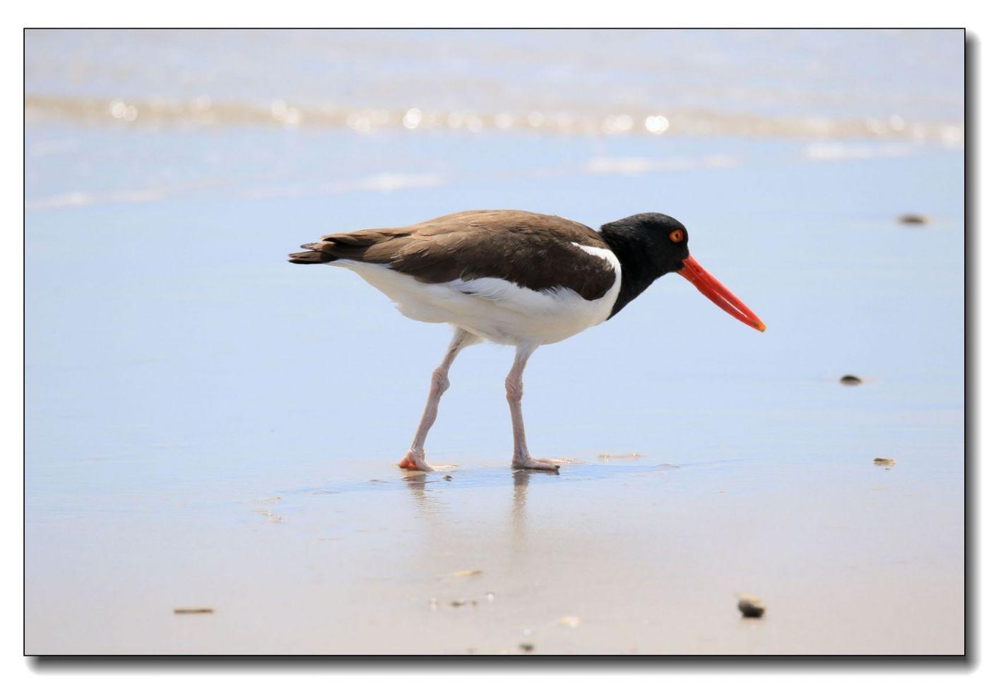 洛克威海滩拍鸟—励鹬_图1-4