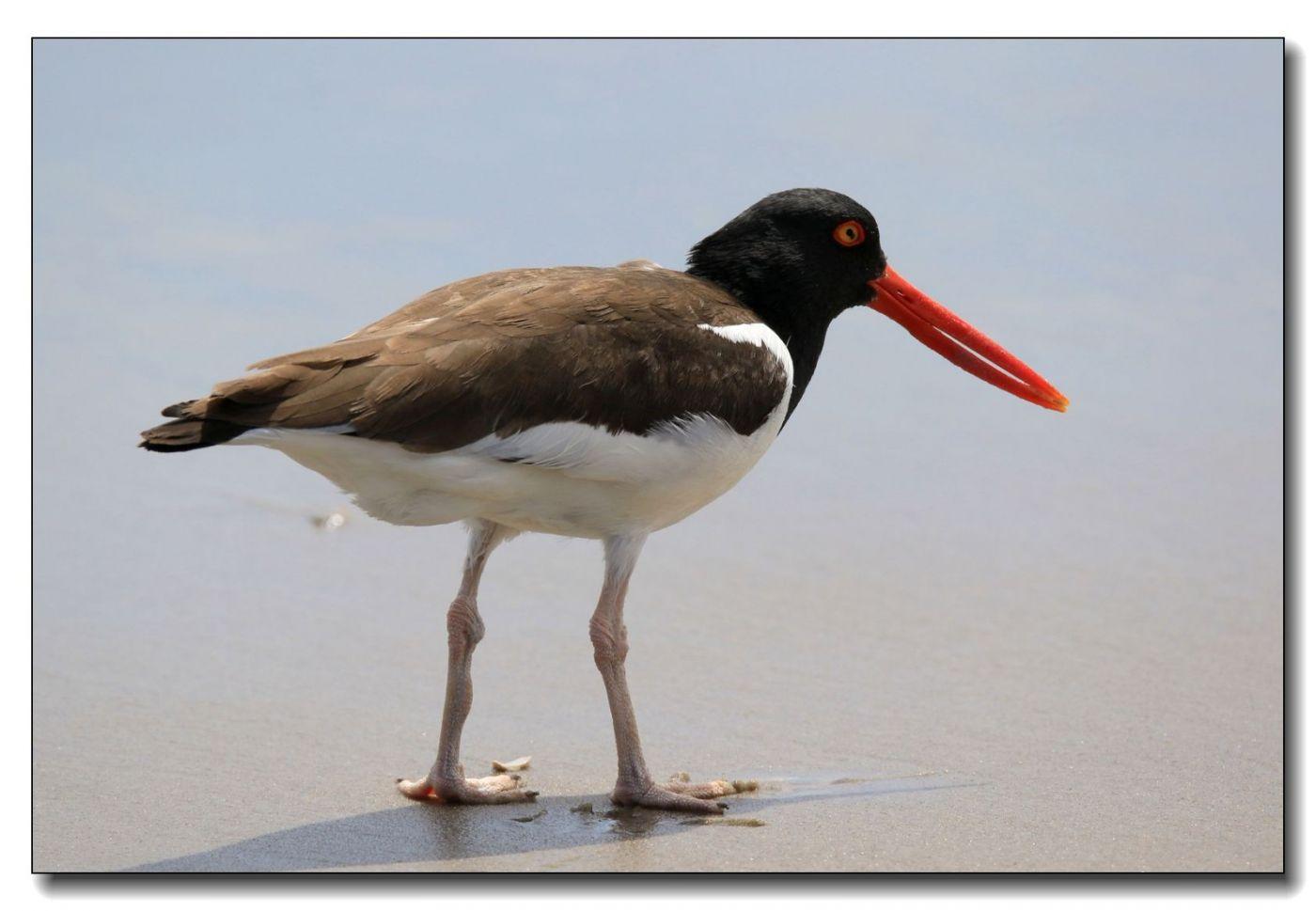 洛克威海滩拍鸟—励鹬_图1-5