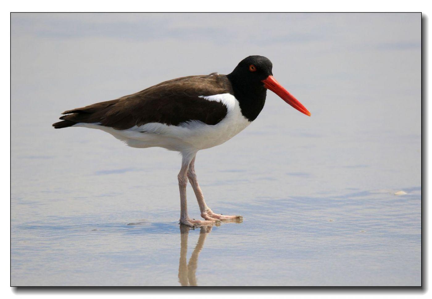 洛克威海滩拍鸟—励鹬_图1-6
