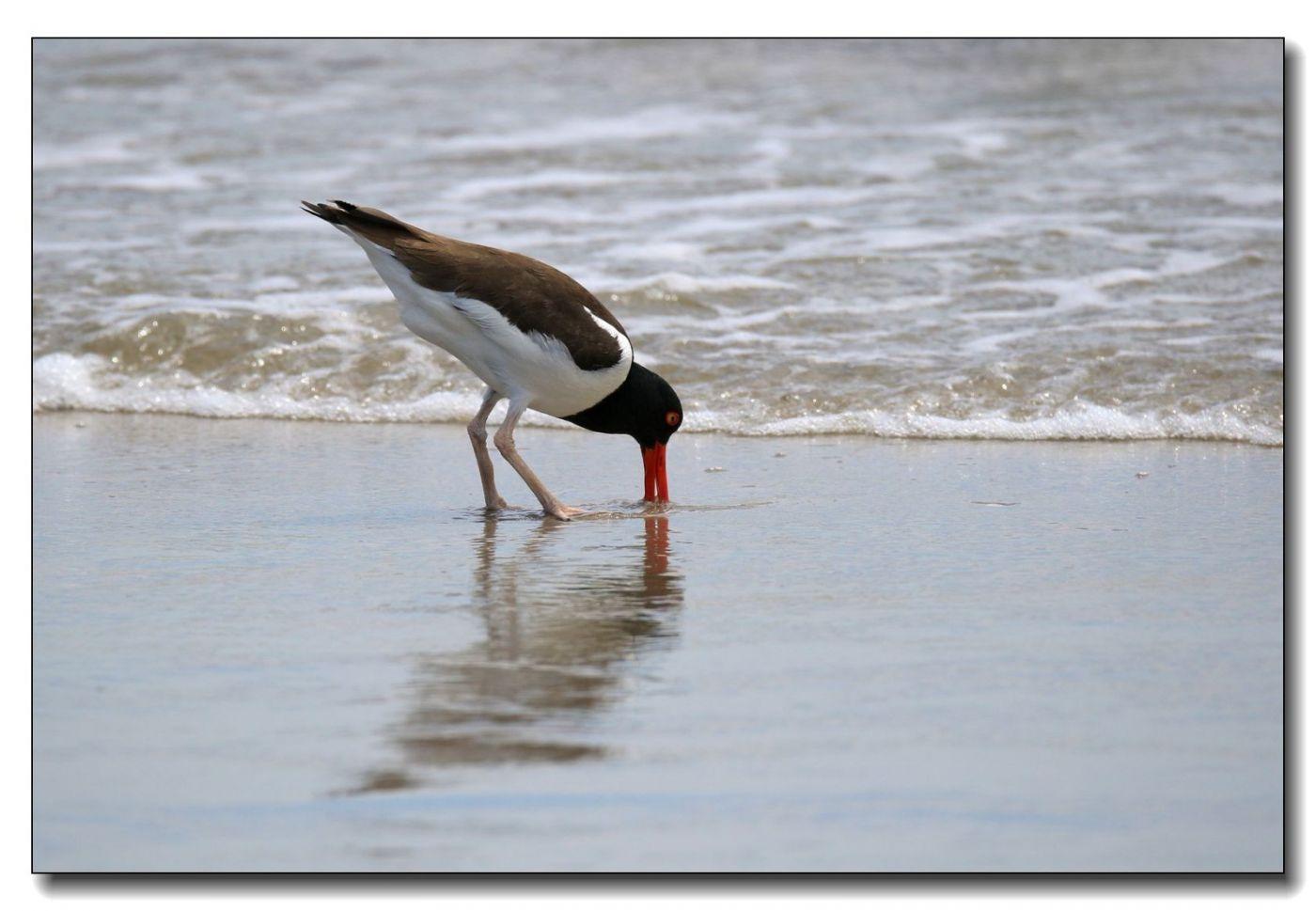 洛克威海滩拍鸟—励鹬_图1-7