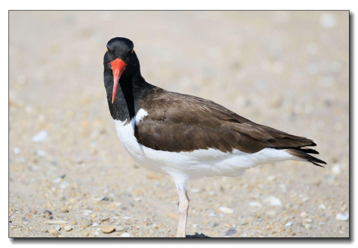 洛克威海滩拍鸟—励鹬_图1-9