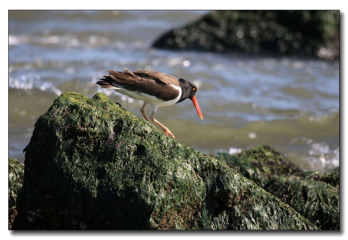 洛克威海滩拍鸟—励鹬_图1-10