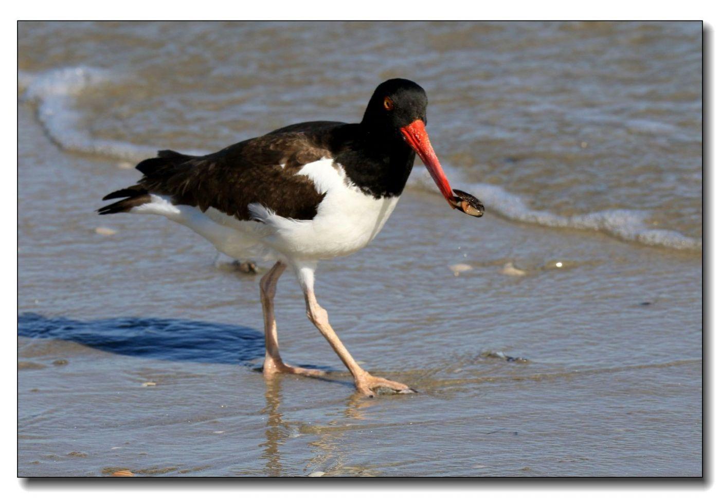 洛克威海滩拍鸟—励鹬_图1-12