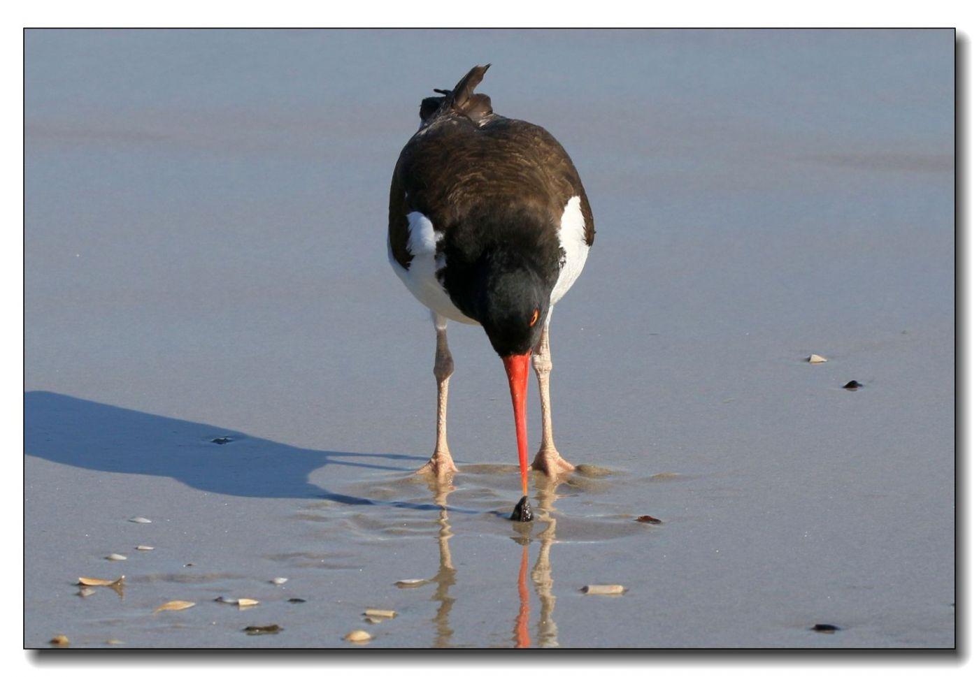 洛克威海滩拍鸟—励鹬_图1-13