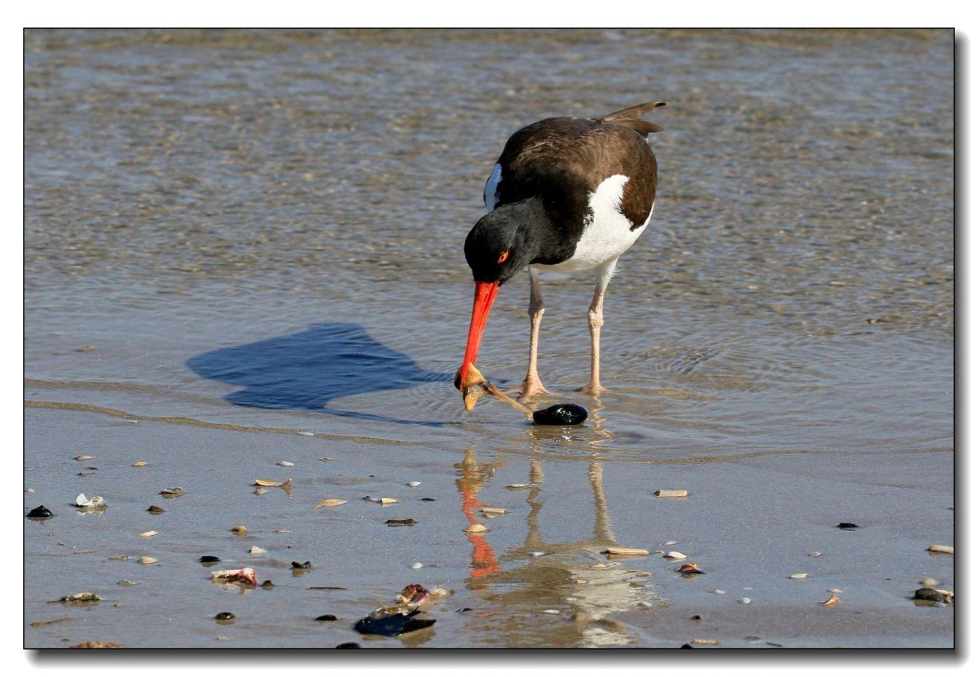 洛克威海滩拍鸟—励鹬_图1-14