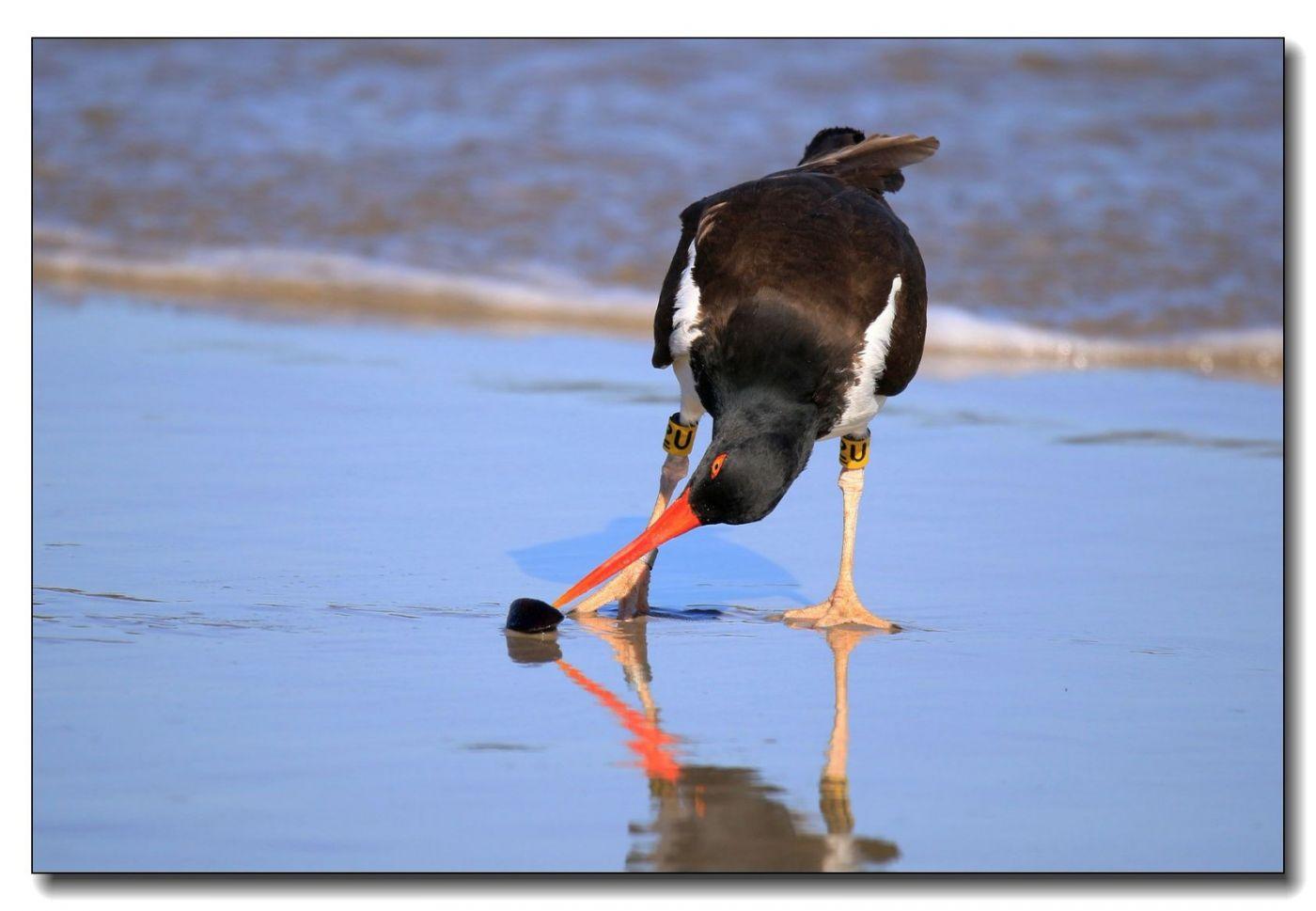 洛克威海滩拍鸟—励鹬_图1-15