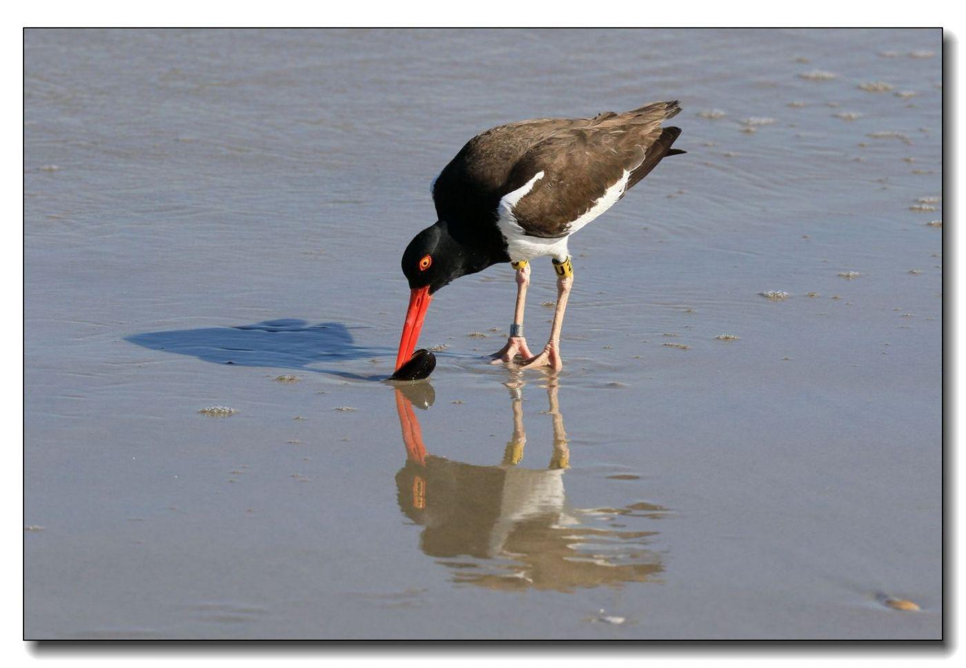 洛克威海滩拍鸟—励鹬_图1-16