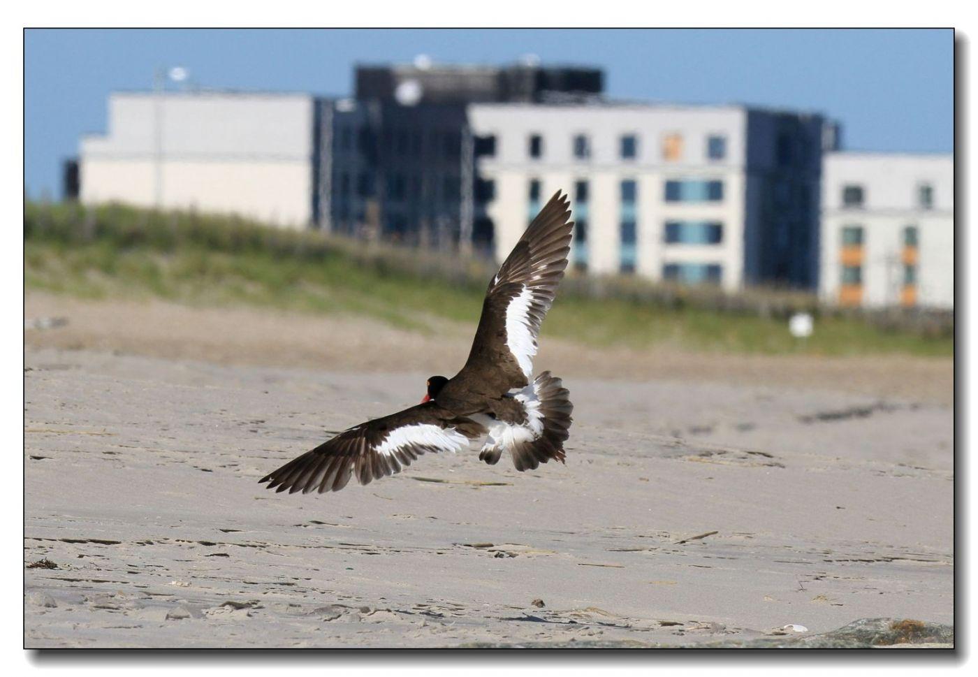洛克威海滩拍鸟—励鹬_图1-18