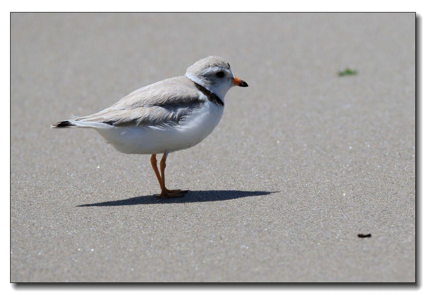 洛克威海滩拍鸟—环颈鸻_图1-1