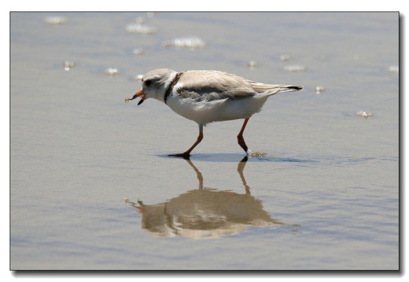 洛克威海滩拍鸟—环颈鸻_图1-2