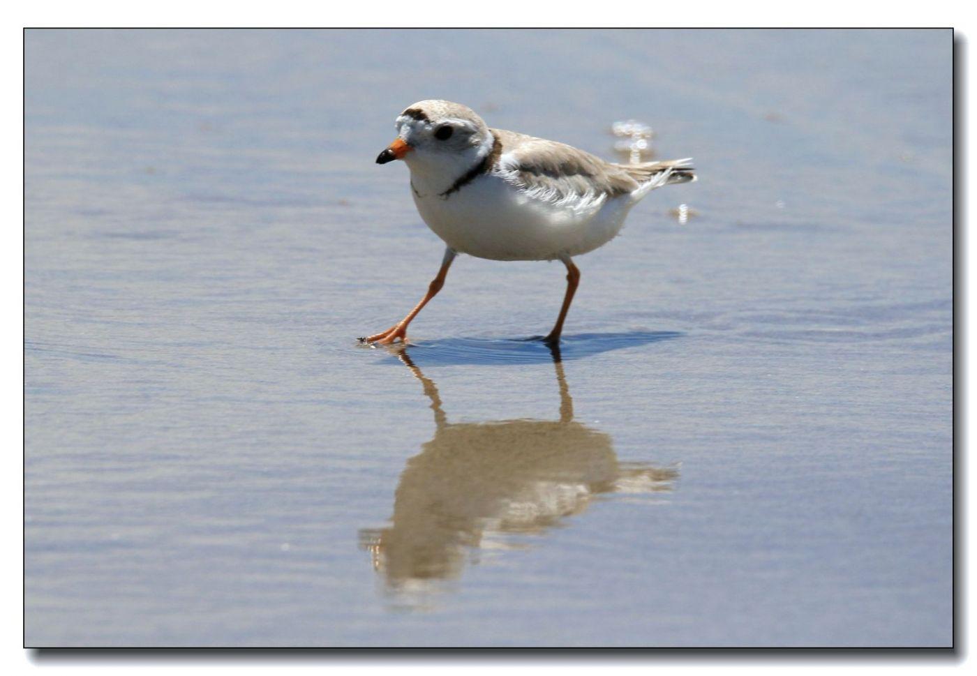 洛克威海滩拍鸟—环颈鸻_图1-3