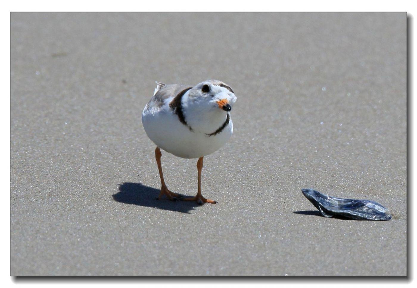 洛克威海滩拍鸟—环颈鸻_图1-4