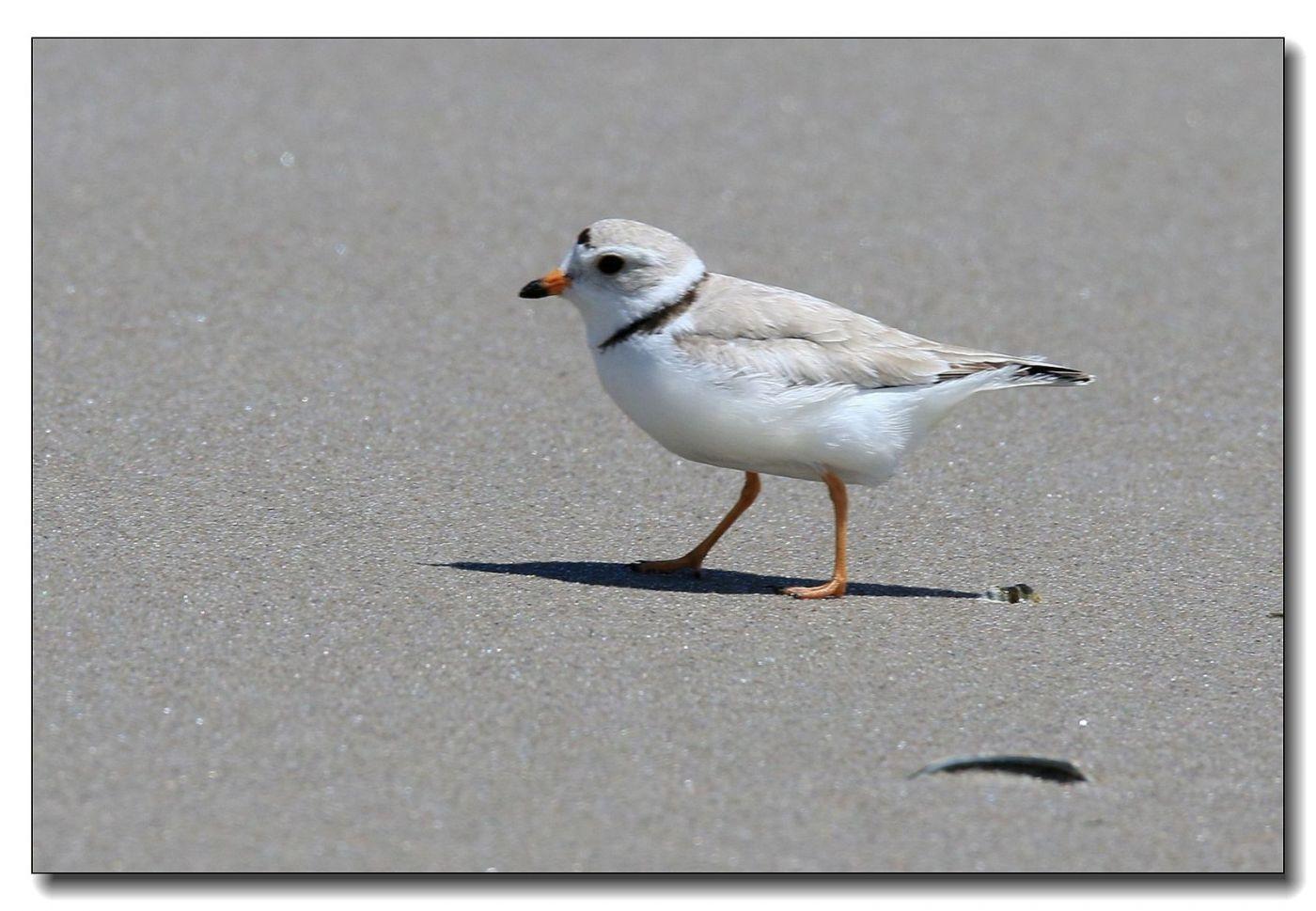 洛克威海滩拍鸟—环颈鸻_图1-5